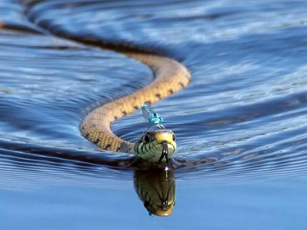 Nằm mơ thấy rắn bơi là điềm báo tốt hay xấu?